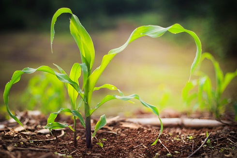 little corn plant with sunshining behind it by noombluesman/stock.adobe.com.