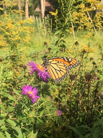 pollinator butterfly.