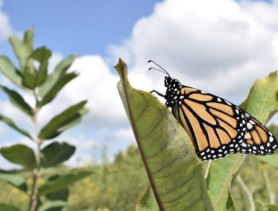 monarch butterfly on milkweed plant.