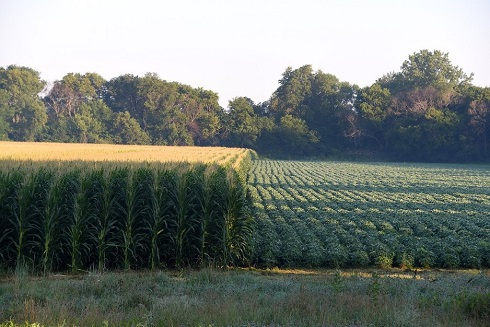 cornfield beside a soybean field.
