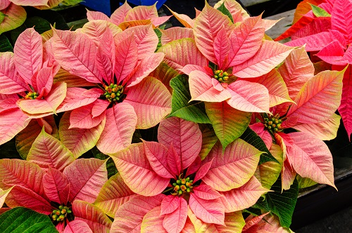 poinsettia plants by zigzagmtart/stock.adobe.com.