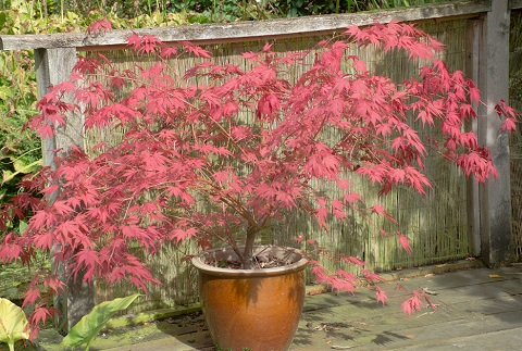 Large red acer in clay pot by pauws99/stock.adobe.com.