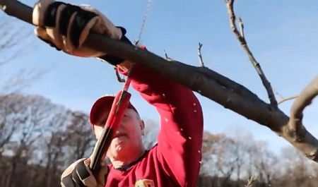 pruning a tree by hand.