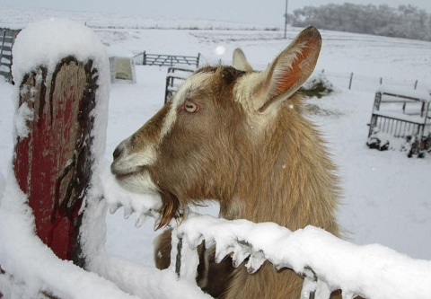 dairy goat looking over snowy fence.