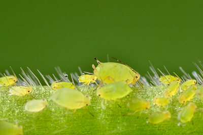 soybean aphids.
