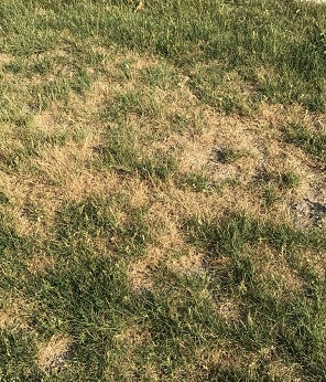 lawn with dry, brown areas.