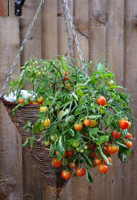 Tomatoes in hanging basket by Linda/stock.adobe.com.
