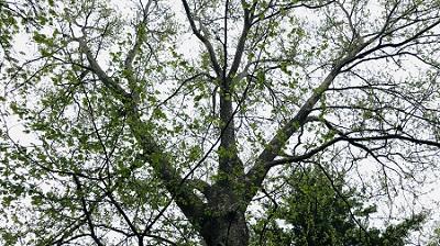 large tree.