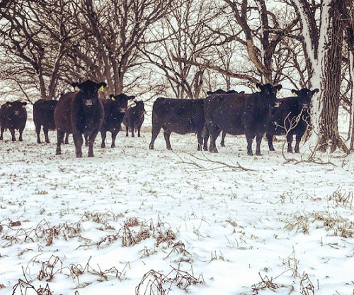Cows standing in snowy pasture.