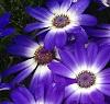 Cineraria flower by Victoria Gardner/stock.adobe.com.