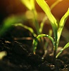 Young small corn plant seedlings in soil by Bits and Splits/stock.adobe.com.