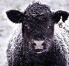 Close-Up of a Black Angus Cow Covered in Snow. By Caileb/stock.adobe.com .