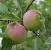 apples in tree.