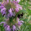 Bee on a bee balm bloom.