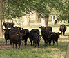 beef cattle in pasture with shade trees.