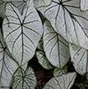 white leafed caladium