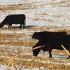 Beef cattle on corn.