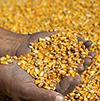 farmers hands holding corn by RGtimeline/stock.adobe.com.