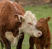mother cow and baby.