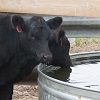 two black cows at a water tank.