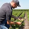 producer kneeling in soybean field examining plant.