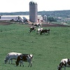 cows grazing on pasture with dairy buildings in background.