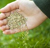 hand releasing grass seed over lawn by Elenathewise/stock.adobe.com.