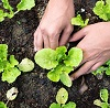 young lettuce plants by chaiyon021/stock.adobe.com.