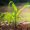 small corn plant with sun shining behind it by noombluesman/stock.adobe.com.