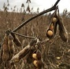 pods of soybeans hanging on dry plants.
