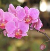pink moth orchid.
