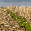 soybeans in no till by bmargaret/stock.adobe.com.