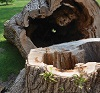 a fallen decayed tree and stump.