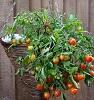 Tomatoes in hanging basket by Linda/stock.adobe.com.