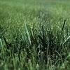 turfgrass.