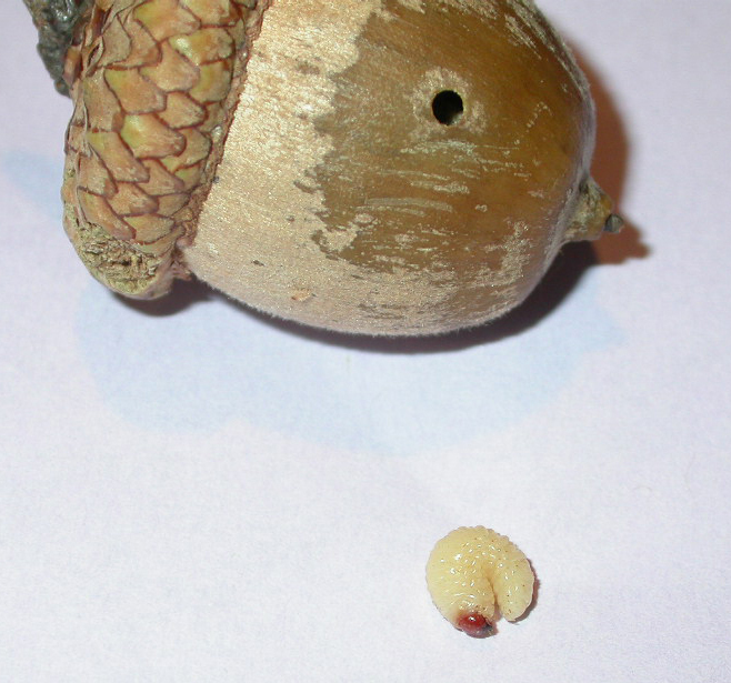 What Kind Of Nut Has A Hole >> The Dark Side Of Collecting Acorns News