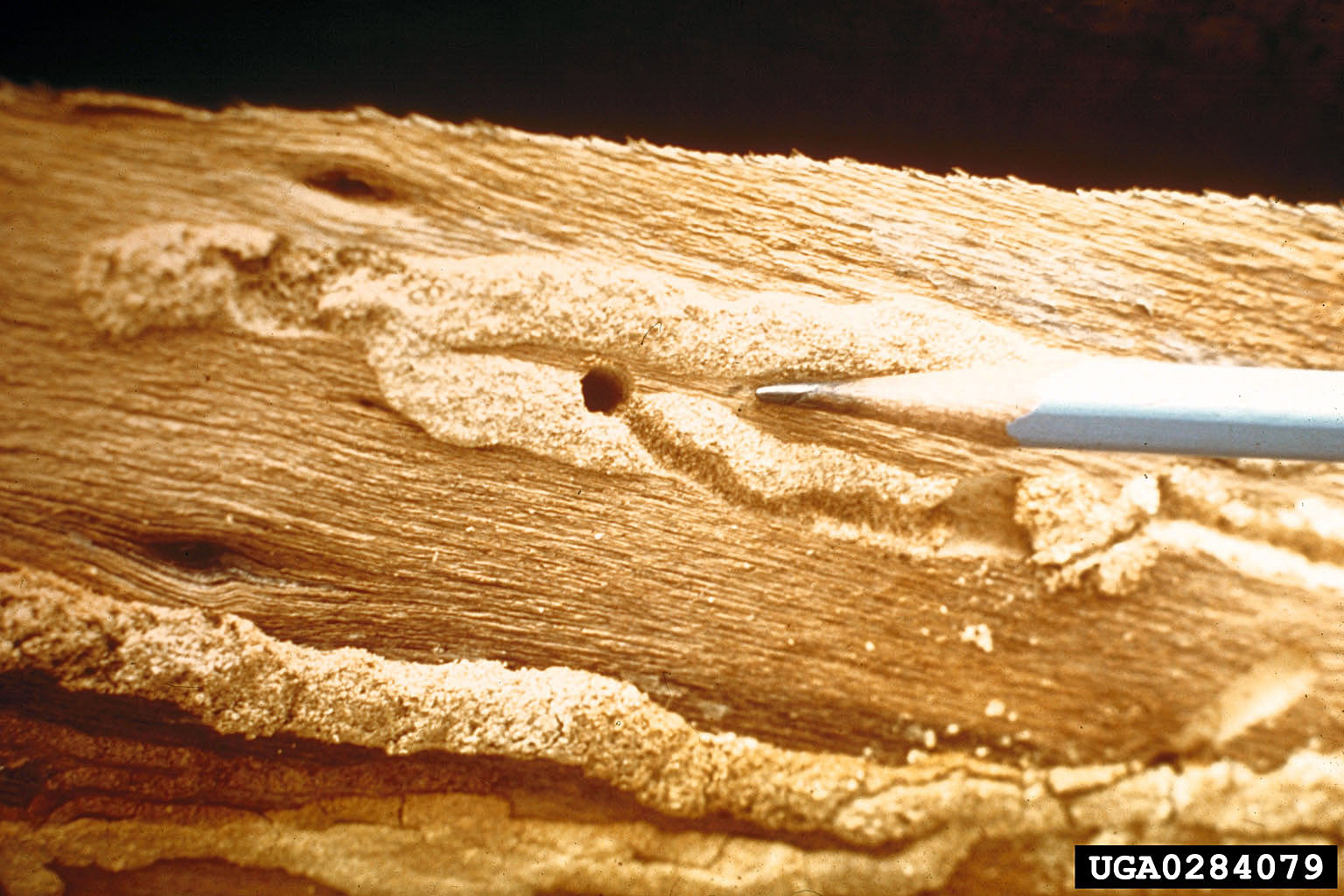 Redheaded Ash Borer Also A Threat To Ash Trees News