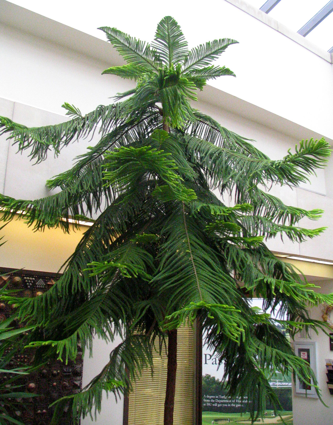 Office Plant Norfolk Island Pine The Other Living Christmas Tree News