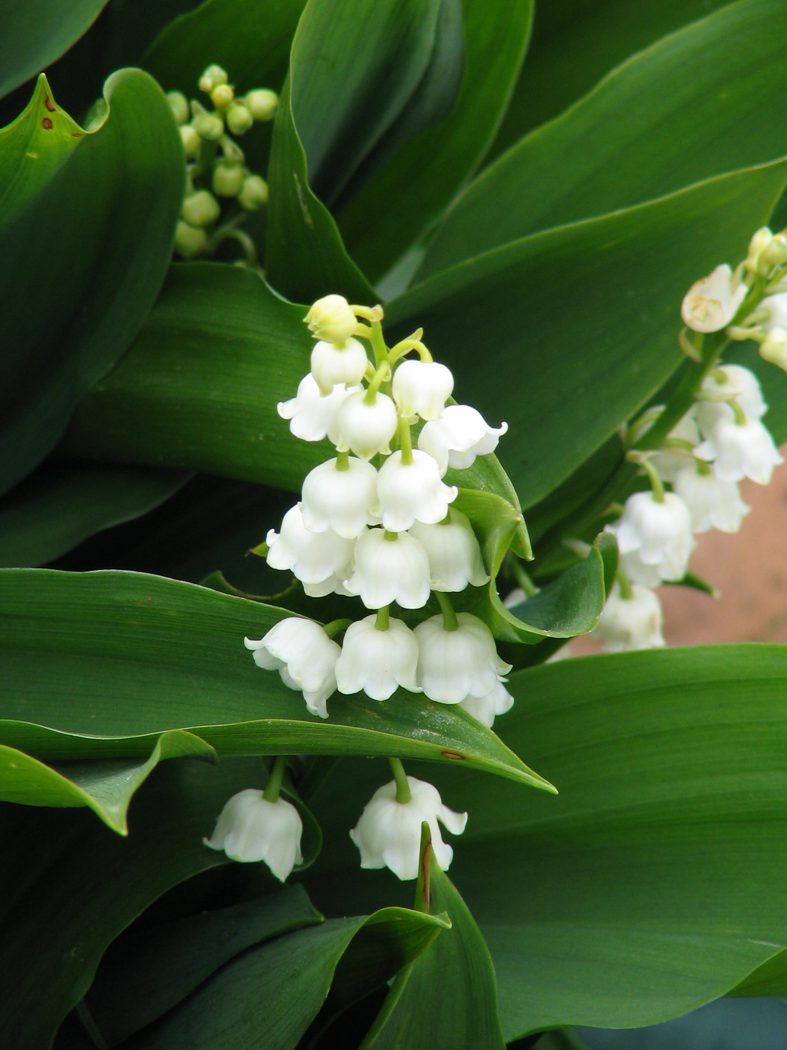 Ask the experts from isu news lily of the valley lotvg izmirmasajfo Images