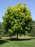 'Princeton Gold' Norway Maple