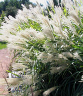 Maiden grass plumes add texture to fall landscapes