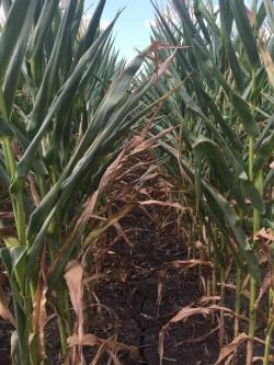 Drought Corn