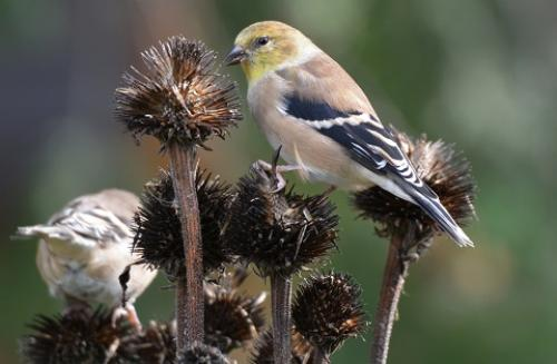 Goldfinch on Coneflower seeds by C. Hamilton/stock.adobe.com.
