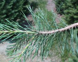 The red pine is one of three types of pines often seen in Iowa.