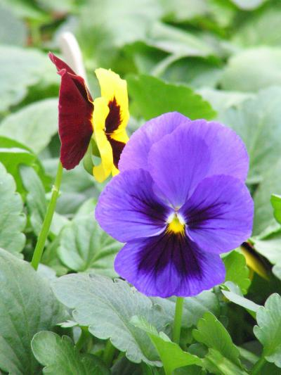 Pansies are a popular spring garden annual in the Midwest.