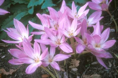 The leaves of Colchicums emerge in early spring and die back by early summer.