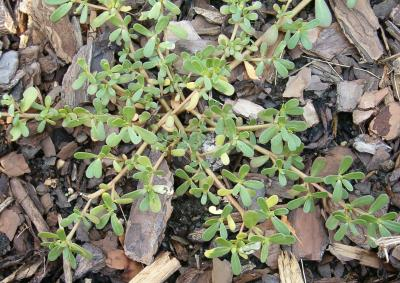Purslane is a common and persistent garden weed.