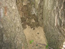 Carpenter ants nesting inside trees often expel large quantities of coarse sawdust
