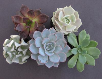 Echeveria plants are commonly known as Hen and Chicks
