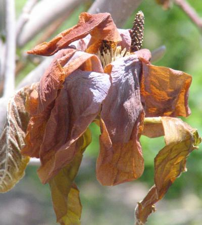 Frost damaged magnolia foliage